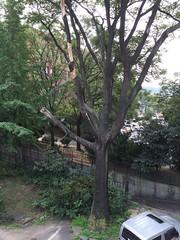 161201 파크 가죽나무 작업전 (PLAYSEESAW) Tags: treeclimbing arborist pruning korea innovationpark 서울혁신파크 트리클라이밍 아보리스트 가지치기 전정