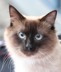 BIRMAN CAT (fabiogis50) Tags: pet cats pets animals topv111 cat canon ilovenature topc50 group crop grin burmese gatti purrfect notmycat cc200 gattigattinigattoni kissablekat bestofcats anawesomeshot colorphotoaward superbmasterpiece beyondexcellence wowiekazowie thebiggestgroupwithonlycats
