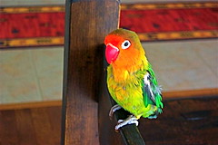 Tika posing (Tomitheos) Tags: pet toronto bird animal animals image song rip images tequila exotic parakeet singer lovebird tika fischer rhapsody thebigone april252003 240am toronto2007 whiteringspecies tomitheos tequiah thewonderfulworldofbirds