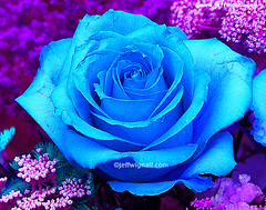 Blue Rose (37,000 Views) (Jeff Wignall) Tags: blue rose gardens curves vanderbilt infrared colorinfrared photoshopcs2 wignall bluerose curvesadjustment