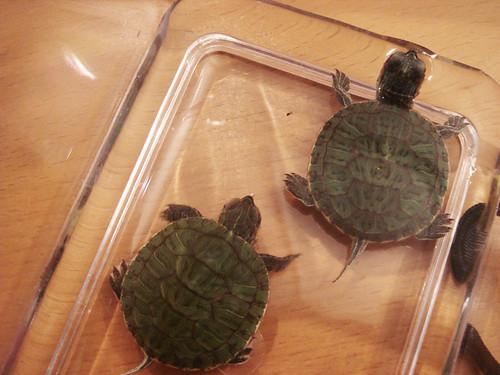 Gorgeous Turtles.jpg