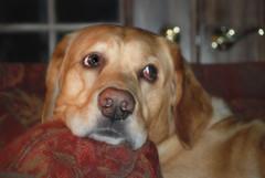 115Lbs of Pure Spoiled Rotten (BigBlonde) Tags: dog pet yellow nikon lab labrador vino d80 impressedbeauty madeexploreinterestingness