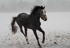 Horse in snow (Mr. Physics) Tags: horse snow cold nature weather jump jumping wind michigan windy running run wendy equestrian trot stallion canter gallop dressage msoller
