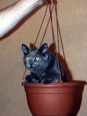 Harley in a basket (harleyannie) Tags: pet cats cat glasses funny teddy