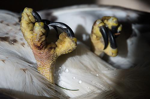 Hawk Toes