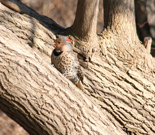 common flicker female
