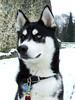 Wolfy (Trojan_Llama) Tags: dog snow beautiful eyes husky fuji snowy gorgeous handsome huskies siberianhusky s5200 fujifilm wolfy heterochromia sibe s5600 bieyed