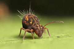 A big Globular Springtail (Lord V) Tags: macro bug springtail collembola ornata dicyrtomina anawesomeshot fantasticanimalphotos