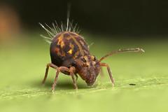 A big Globular Springtail (Lord V) Tags: macro bug springtail collembola ornata dicyrtomina anawesomeshot fantasticanimalphotos