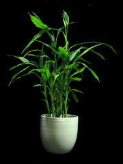 Lucky Bamboo - New Tip Growth in Hydroculture