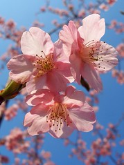Cherry blossoms 1 (tanakawho) Tags: pink blue sky flower tree nature public cherry this see spring all with searchthebest photos blossom icon tagged click delicate  1on1flowers impressedbeauty twtmesh607226a