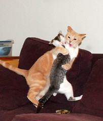 true love (Malingering) Tags: cats pets cat fight scary kitten play milo startled kittens scared furryfriday catfight wrestle zumi