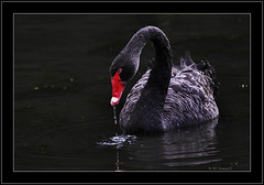 Black Swan (Barbara J H) Tags: lake black bird nature swan wildlife canon20d australia qld blackswan sunshinecoast cygnusatratus buderim australianbirds australianwildlife birdsofaustralia parkstock featheryfriday abigfave wildlifeofaustralia fowlfeatheredfriends barbarajh avianexcellence northbuderimlake diamondclassphotographer flickrdiamond brisbanebirds auselite