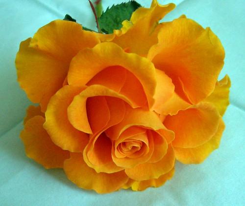 unbekannte Rose (01)
