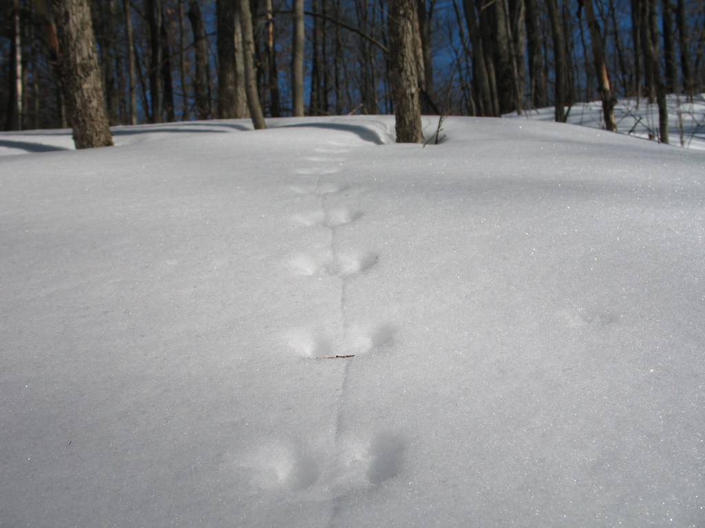 Mouse trails in the snow