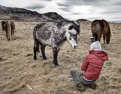 Rebekka in Action (Stuck in Customs) Tags: horses 3 mountains cold nature animals landscape photography photo iceland nikon photographer open farm space freezing spotted hdr rebekka highquality stuckincustoms treyratcliff