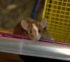 Elleffgie (Pockafwye) Tags: pet animal mouse rodent climbing mice 2007 hopeful elleffgie