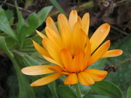 Calendula officinalis - Goudsbloem. Foto: AnneTanne - Creative Commons License