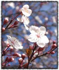 zuhaitzen loreak / flores de árbol / tees´s flowers (iosebasque) Tags: pink flowers flores flower macro dof flor loreak lorea naturesfinest rosacea ltytrx5 ltytr2 ltytr1 ltytr3 ltytr4 ltytr5 ltytr6 wowiekazowie