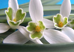 ... purity and tenderness ... (Mieke Vos Photographics) Tags: flowers white green home netherlands dutch leaves hearts snowdrops tenderness purity sneeuwklokjes naturesfinest supershot greenhearts flickrsbest 25faves mywinners abigfave anawesomeshot superbmasterpiece onenesslabyrinth diamondclassphotographer flickrdiamond