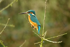Kingfisher (lovestruck.) Tags: bird canal searchthebest shropshireunioncanal kingfisher colourful blueribbonwinner explored cy2 animalkingdomelite challengeyouwinner pentaxk10d