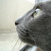 ネコ:A hunter Russian blue