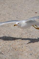 Take Off (scuba_cat_154) Tags: white bird beach rock spread fly sand gull low flight wing ground pebble alive flap soar