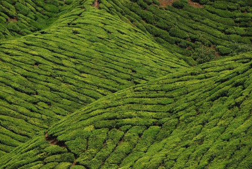 Tea Plantation (2)
