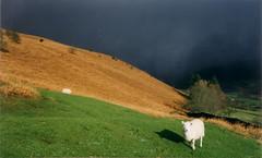sheep snow storm (mm-j) Tags: snow storm black colour film wales contrast sheep bracken blackmountains christmasday scanfromprint welshmountainsheep