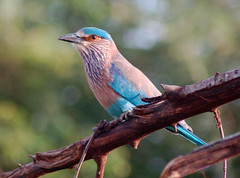 Indian Roller (Patrick Costello) Tags: d50 srilanka naturesfinest blueribbonwinner indianroller udawalawe specnature avianexcellence diamondclassphotographer