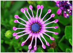 OSTEOSPERMUM / Dimorfoteka (Magda'70) Tags: pink flowers usa flower macro green america us dallas nikon violet arboretum bloom dfw d200 excellence txtexas mywinners abigfave abigfive impressedbeauty wowiekazowie mailciler