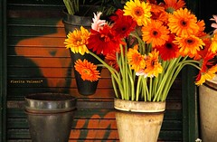 I wanna buy you flowers (flavita.valsani) Tags: flowers orange nature gerberas 3x1 abigfave p1f1 superbmasterpiece geribera