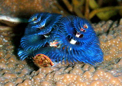 Blue Christmas Tree Worms, Thailand (_takau99) Tags: ocean christmas trip travel blue sea vacation holiday fish macro uw nature topf25 water topv111 coral topv2222 thailand island islands march topv555 topv333 nikon marine asia southeastasia underwater indian topv1111 topv999 indianocean topv444 dive scuba diving christmastree topv222 thai tropical coolpix scubadiving topv777 s1 worm phuket reef topv3333 topv666 topf10 topf15 similan khaolak 2007 surin andaman andamansea topv888 similanislands nikoncoolpix christmastreeworm topf5 topf20 similanisland takau99 anitasreef diamondclassphotographer flickrdiamond edive similan5