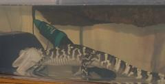 Beastie and the Rosies (ArmchairDeity) Tags: alligator american mn burnsville