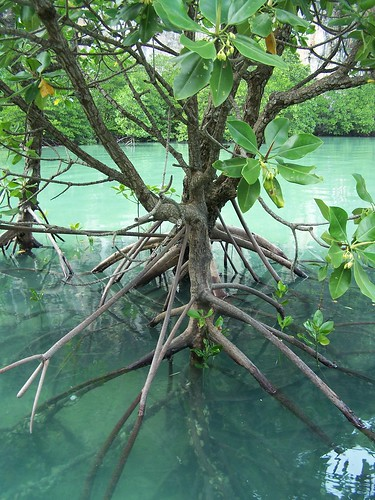 mangrove tree roots