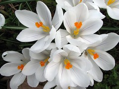 White Crocus (Stones 55) Tags: white flower home bulb garden spring crocus edmonds jeannedarc iridaceae