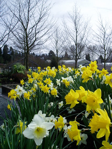 Daffodils in Foreground