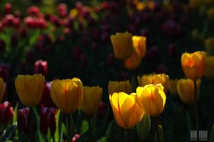 DSC_9819s (eric_chang) Tags: tulips taiwan
