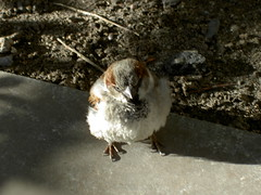 070329 puffy bird (Dan4th) Tags: cambridge bird birds animals boston ma mit fluffy 02139 massachusettsinstituteoftechnology