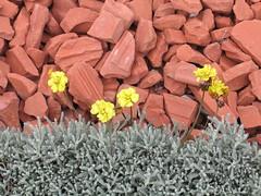 little and yellow (.leila) Tags: flower colour yellow stone israel terracotta pebble hedge bahai bahji santolina