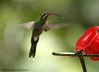 White-whiskered Hermit (Michael Woodruff) Tags: foothills bird birds ecuador birding hermit phaethornis nwecuador milpe milpebirdsanctuary whitewhiskeredhermit whitewhiskered phaethornisyaruqui
