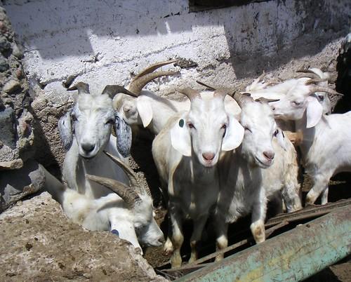 various u s  sheep breeds