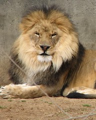 Lion 1 (ltshears) Tags: male animal cat zoo kenya kentucky lion louisvillekentucky louisvillezoo pantheraleo ltshears