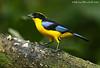 Blue-winged Mountain-Tanager (Michael Woodruff) Tags: bird southamerica birds canon ecuador birding sa tanager 30d subtropics bluewinged tandayapa tandayapavalley anisognathus anisognathussomptuosus mountaintanager bluewingedmountaintanager nwecuador qemdfinchadminsfavforjune