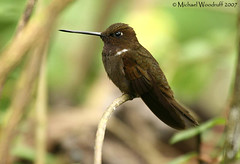 Brown Inca (Michael Woodruff) Tags: brown bird birds inca ecuador hummingbird birding cloudforest hummer subtropics tandayapa coeligena nwecuador browninca coeligenawilsoni