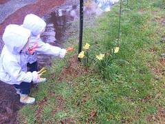 examining daffodils