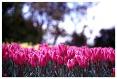 Tulip(Fil,m) 070414 #04