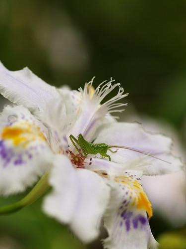 Fringed iris