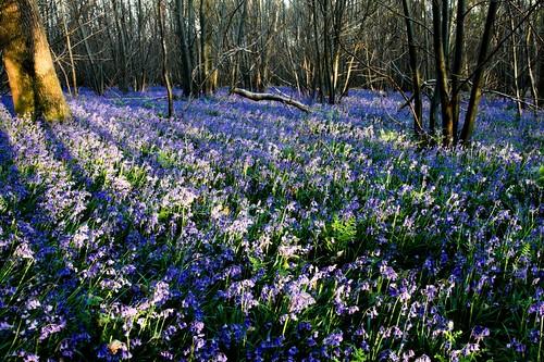 Evening bluebells - Sussex