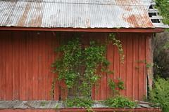 Ivy On The Door (memphisphotoman) Tags: rural ivy shack tinroof shacks